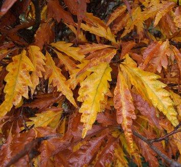 Fagus sylvatica 'Asplenifolia' 1