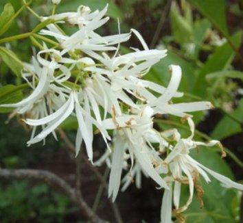Chionanthus virginicus 3 flower