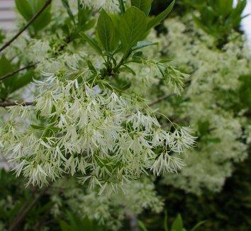 Chionanthus virginicus 4 flower