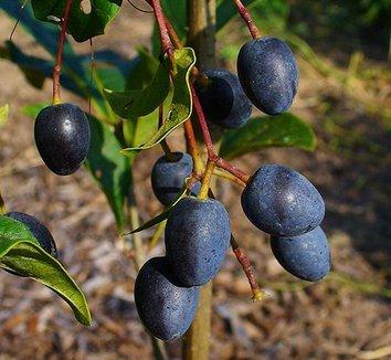 Chionanthus virginicus 8 fruit