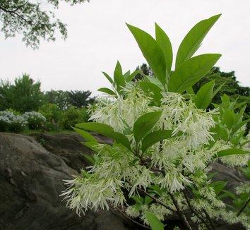 Chionanthus virginicus 14 flower