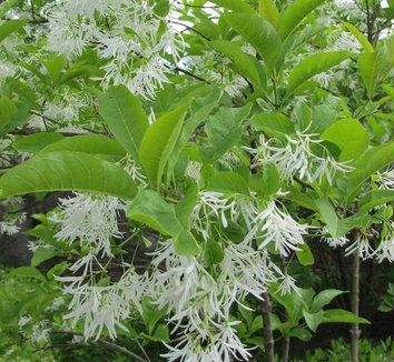 Chionanthus virginicus 16 flower