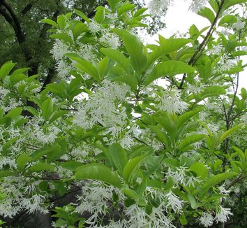 Chionanthus virginicus 18 flower