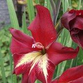 Gladiolus 'Adi'