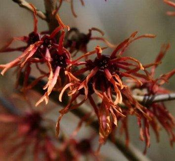 Hamamelis x intermedia 'Feuerzauber' 14 flower