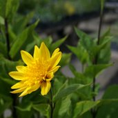 Helianthus 'Flore Pleno'