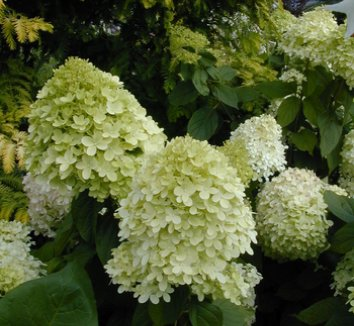 Hydrangea paniculata 'Limelight' 12874 1 flower