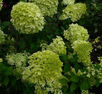 Hydrangea paniculata 'Limelight' 12874 2 flower