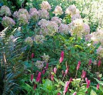 Hydrangea paniculata 'Limelight' 12874 4 form