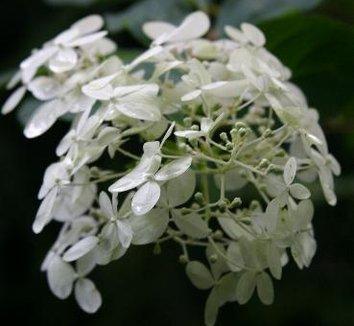 Hydrangea paniculata 'Limelight' 12874 6 flower