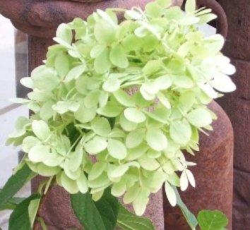 Hydrangea paniculata 'Limelight' 12874 8 flower