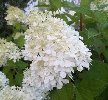 Hydrangea paniculata 'Limelight' 12874 10 flower