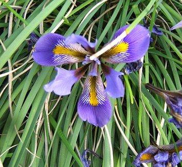 Iris unguicularis 9 flower
