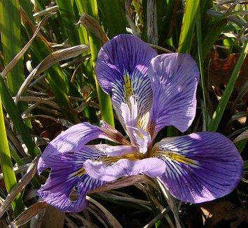 Iris unguicularis 10 flower