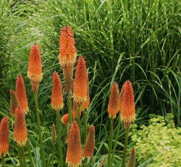 Kniphofia 'Alcazar' 4 flower