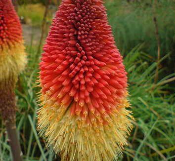 Kniphofia caulescens 2 flower