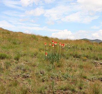 Kniphofia caulescens 7