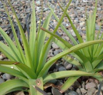 Kniphofia caulescens 12