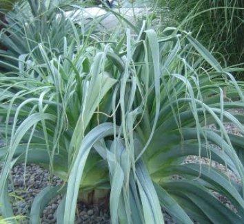 Kniphofia caulescens 16