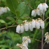 Eubotris racemosa