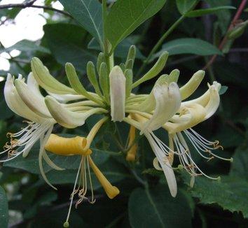 Lonicera periclymenum 'Graham Thomas' 1 flower