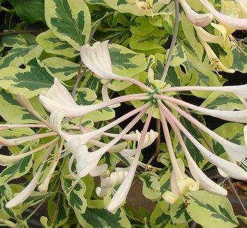 Lonicera x italica 'Sherlite' 11 flower