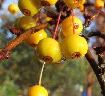 Malus 'Golden Raindrops' 1 fruit