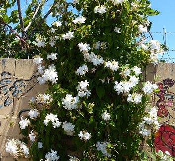 mandevilla laxa mandevilla suaveolens chilean jasmine vine plant lust. Black Bedroom Furniture Sets. Home Design Ideas