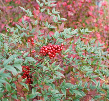 Nandina domestica 'Moyer's Red' 1 fruit