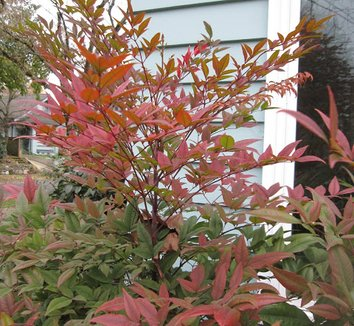 Nandina domestica 'Moyer's Red' 8