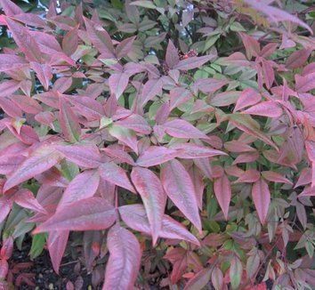 Nandina domestica 'Moyer's Red' 6