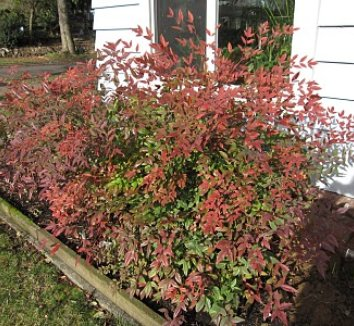 Nandina domestica 'Moyer's Red' 10 form
