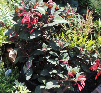 Nandina domestica 'Moyer's Red' 12