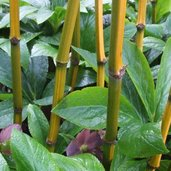 Phyllostachys aureosulcata 'Harbin Inversa'