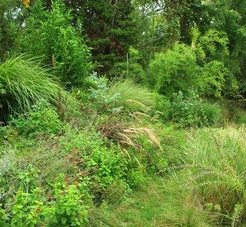 Phyllostachys nigra 24 landscape