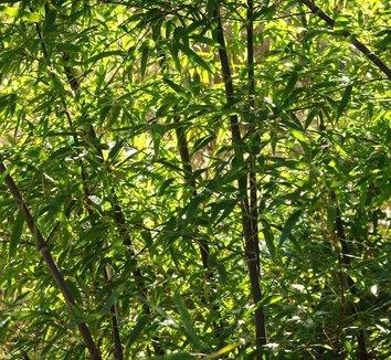 Phyllostachys nigra 21 landscape