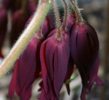 Podophyllum 'Spotty Dotty' 17,361 6 flower
