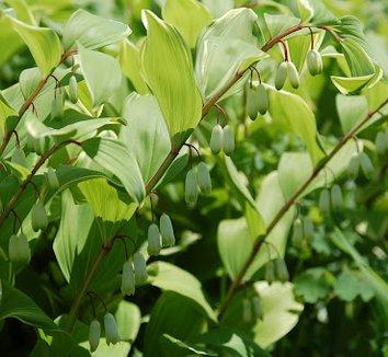 Polygonatum odoratum var. pluriflorum 'Variegatum' 4 flower