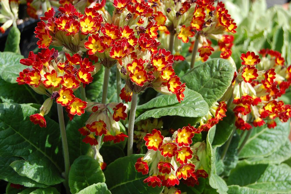 Photo 16361 Primula Veris Sunset Shades Plant Lust