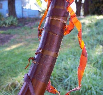 Prunus serrula 4