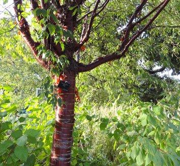 Prunus serrula 8
