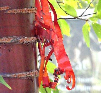 Prunus serrula 6