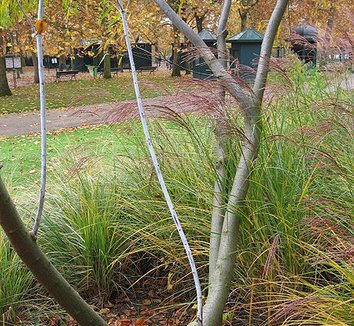 Salix udensis 'Sekka' 6 form
