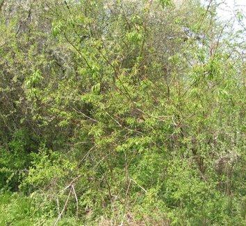 Salix udensis 'Sekka' 1 form