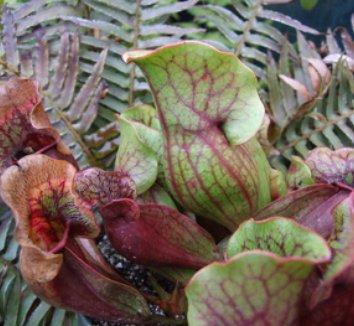 Sarracenia rubra 1 flower