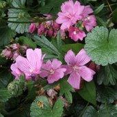 Sidalcea malviflora 'Palustre'