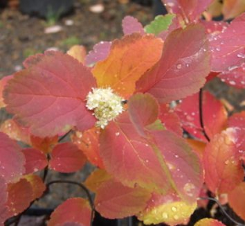 Spiraea betulifolia 'Tor' 1 flower