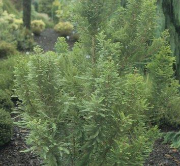 Taxodium distichum 'Peve Minaret' 8
