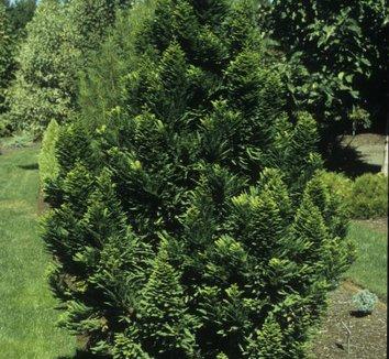 Taxodium distichum 'Peve Minaret' 10 form