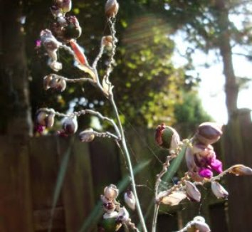 Thalia dealbata 8 flower